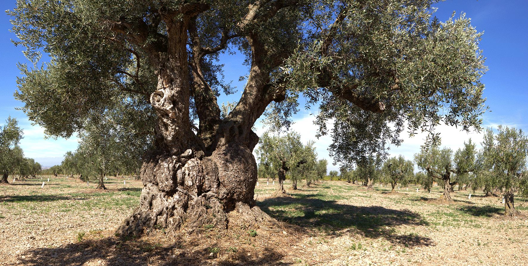 在地中海陽光滋潤下生長的百年橄欖樹